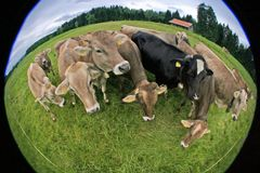 Cows fisheye Royalty Free Stock Photos
