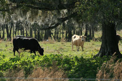 Cows in FL pasture. Cow in Florida pasture under live oat tree in the early morning royalty free stock photo