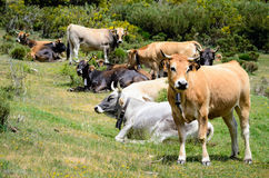 Cows flock Royalty Free Stock Images