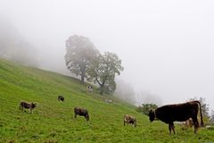 Cows in a fog Royalty Free Stock Photo