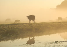 Cows in the fog Royalty Free Stock Photos