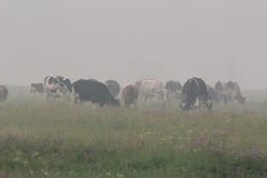 Cows in the fog. Early in the morning a herd of cows grazes on a green meadow, everything is surrounded by a dense fog Stock Photo