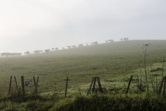 Cows in Fog Royalty Free Stock Photo