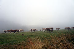 Cows in the fog Stock Photography