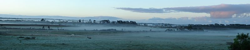 Cows in fog panorama Royalty Free Stock Photography