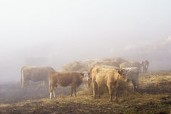 Cows in the fog Royalty Free Stock Photo