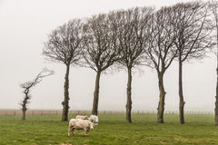 Cows - Foggy Day, France. Royalty Free Stock Photography