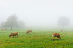 Cows on foggy field Stock Images