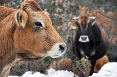 Cows in a forest, Basque Country (Spain) Royalty Free Stock Photo