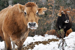 Cows in a forest, Basque Country, Spain Stock Image