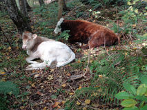 Cows on the forest meadow, among autumn leaves. White and brown calf on the forest meadow, autumn nature Royalty Free Stock Images