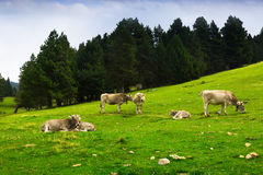 Cows in forest meadow Royalty Free Stock Image
