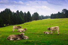 Cows in forest meadow in summer Stock Photo