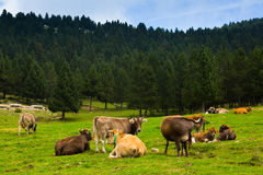 Cows in forest meadow in summer Stock Image