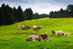 Cows in forest meadow in summer Stock Photography