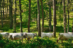 Cows in the forest Stock Images