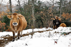 Cows in a forest in winter, Basque Country, Spain Stock Image