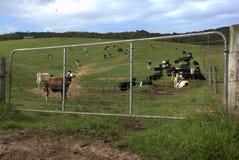 Great Ocean Road cows. Cows framed by farm gate near Johanna beach Stock Photos