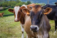 Cows freely graze in the meadows of the entire island of Sao Miguel all year round. Azores, Portugal stock photography