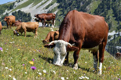 Cows in the French Alps Stock Images
