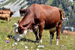 Cows in the French Alps Royalty Free Stock Photo