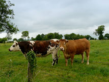 Cows in the green field Royalty Free Stock Images