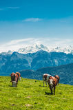 Cows in the french mountain Stock Photos