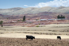 Cows on fresh plowed land at the crater of Maragua`s dormant volcano Royalty Free Stock Image