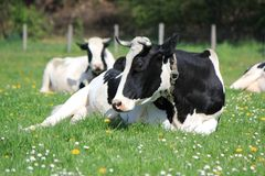 Cows of Fribourg canton, Switzerland, Stock Image