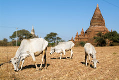 Cows in front of Shwegugyi temple at the archaeological site of Royalty Free Stock Photo