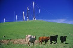 Cows in front of wind turbines at Altamont Pass, CA Royalty Free Stock Photos