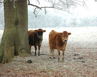 Cows in a frost covered field. 2 cows in a field of winter frost stand by a tree for some shelter Stock Image