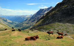 Cows at the Galibier pass, France Royalty Free Stock Photos