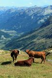 Cows at the Galibier pass, France Stock Photography