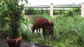 Cows in garden. Cows standing at the green garden in Hoi An town, Quang Nam, Vietnam stock video footage