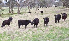Cows gazing Stock Photo
