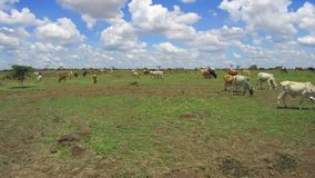 Cows gazing in savanna at africa stock footage
