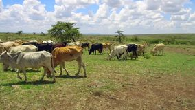 Cows gazing in savanna at Africa stock video