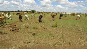Cows gazing in savanna at africa stock video footage