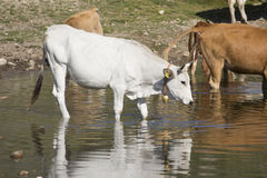 Cows getting a drink at lake Stock Photography