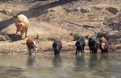 Cows getting a drink at river Stock Photo