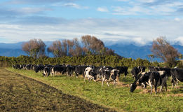 Cows Getting Feed. Herd of New Zealand cows getting their daily feed of grass and hay Royalty Free Stock Images