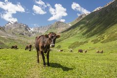 Cows on glade. Herd of cows on green glade in mountains of Kyrgyzstan Royalty Free Stock Photos