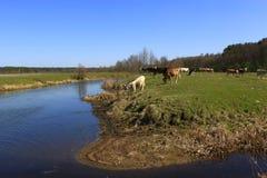 Cows go near the river Royalty Free Stock Photos