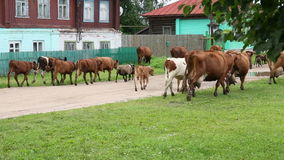 Cows go through the village stock footage