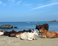 Cows in Goa Royalty Free Stock Images