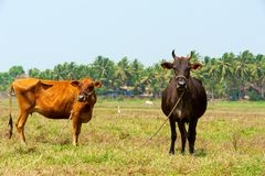 Cows in Goa. Royalty Free Stock Photo