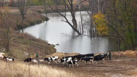 Cows and goats walking on meadow in fall. stock footage