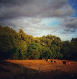 Cows going back home from fields during sunset stock images