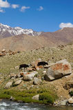 Cows are going back home in Ladakh,India Stock Image